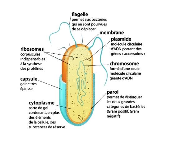 schema d une bacterie