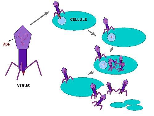 virus bacterie
